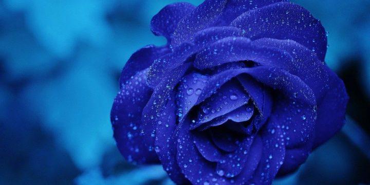 水滴のついた青いバラ