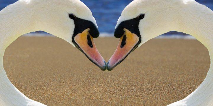 嘴をあわせてハートマークを作る鳥
